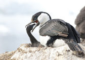Antarctic blue-eyed moment feeding cormorant chicks. — Foto de Stock