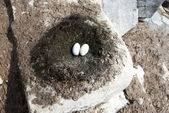 Antarctic blue-eyed cormorant nest with incomplete laying. — Stockfoto