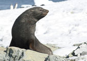 Fur seals sitting on a rock on the beach. — Foto Stock