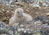 Downy chick South Polar skua sitting among the rocks. — Stock Photo