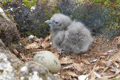Newly hatched chick and egg South Polar Skua. — Stock fotografie