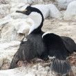 Antarctic blue-eyed cormorant wings covering the nest. — Stock Photo