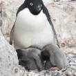 Stock Photo: Female and two Adelie penguin chicks in a nest.