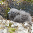 Downy chick South Polar Skua Hidden among the rocks. — Stock Photo