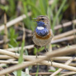 Male white starry Bluethroat singing on a branch cane. — Stock Photo