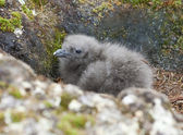 Downy chick South Polar Skua Hidden among the rocks. — Стоковое фото