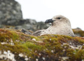 South Polar Skua female sitting in a nest. — Stockfoto