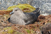 South Polar Skua female sitting on the nest. — Zdjęcie stockowe