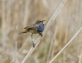 The male red starry Bluethroat singing on a branch cane. — Stock Photo