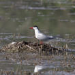 Stock Photo: Tern sitting on nest.