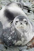 Portrait of Weddell seals on the rocks of the tide in the spring — Stok fotoğraf