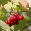 Stock Photo: Branch of red fruits cranberry sunny autumn day.