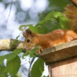 Stock Photo: Europesquirrel sitting on roof iskustveenoy Bird houses.