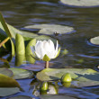 Stock Photo: Lily flower on evening on floodplain lakes.