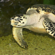 Stock Photo: Hawksbill seturtle floating in glass aquarium.