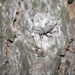 Stock Photo: Pine beetle sitting on pine.