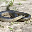 Stock Photo: Legless lizard Slow Worm lying on sand on edge of fo