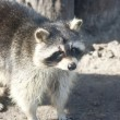 Stock Photo: Raccoon looking into distance on sunny spring day.