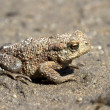 Stock Photo: Young individuals common toad sitting on sand.