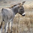 Stock Photo: Young donkey autumn morning in desert.