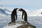 Male and female Gentoo penguins on the slope. — Stok fotoğraf