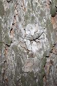Dendroctone du pin ponderosa assis sur le pin. — Photo