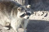 Op zoek naar de afstand op een zonnige lentedag wasbeer. — Stockfoto
