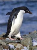 Adelie penguin walking on the rocks — Stock Photo