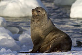 Male fur seal resting on a snowy bank — Stock Photo