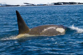 Male killer whales — Stockfoto