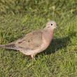 Eared Dove sitting on the green lawn of the Argentine town 1 — Stock Photo