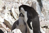 Antarctic penguin feeding its chick in the colony 1 — Stock fotografie