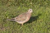 坐在绿色的草坪的阿根廷小镇 1 耳的鸽子 — 图库照片