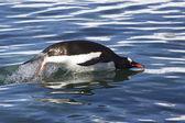Gentoo penguin jump over the ocean waves 1 — Stock Photo