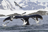 Humpback whale tail that dives during feeding 1 — Stock Photo