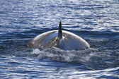 Minke whale back surfaced ocean in the Antarctic Peninsula 1 — Stock Photo