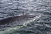 Minke whale surfaced to breathe in Antarctic waters 1 — Stok fotoğraf