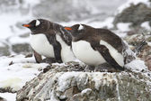 Two Gentoo penguins in the snow 1 — Stock fotografie