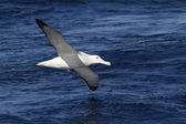 Wandering albatross hovering over the blue surface of the Atlant — Stock Photo