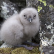 South Polar skua chick sitting near the nest of stones 1 — Stock Photo #47259633
