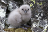 South Polar skua chick sitting near the nest of stones 1 — Stockfoto