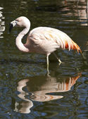 Chilean flamingos in a small pond — Foto de Stock