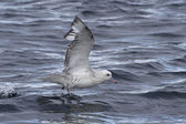 Antarctic fulmars soaring with the ocean surface 1 — Stock Photo