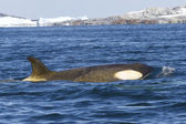Female orca or killer whale floating along the Antarctic Islands — Foto de Stock