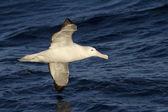 Wandering albatross hovering over the Atlantic Ocean — Stock Photo