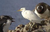 Cattle Egret in winter plumage of Gentoo penguins which it is be — Photo