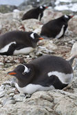 Gentoo penguin females sitting on nests in colonies — Foto Stock