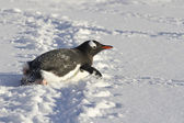 Gentoo penguin who crawls on his belly in the snow — 图库照片