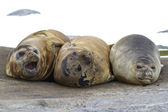 Group of southern elephant seals resting on a rock — Stock Photo