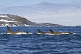 Flock orcas or killer whales swimming along the Antarctic Island — 图库照片